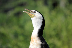 Cormorant head Royalty Free Stock Image