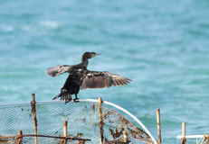 A Cormorant holding its wings out in the sun Stock Photo