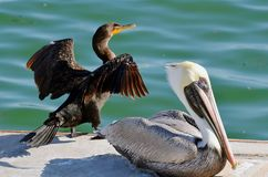 A cormorant holding wings up next to a North American brown pelican perched on a concrete dock. stock images
