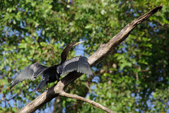 Cormorant in Honduras Stock Photo