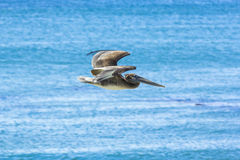 Cormorant hunting and flying Royalty Free Stock Images