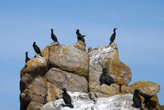 Cormorant huppe outpost. France, Brittany. Nature Reserve Seven Islands. The main occupants are the seabirds Royalty Free Stock Photos