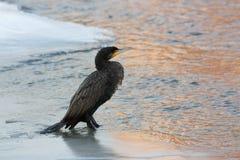Cormorant i vinter Arkivbild