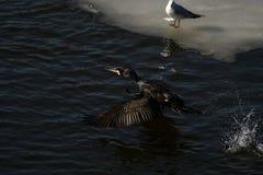 Cormorant - il nage bien et les piqués, plumage n'est pas oiseau imperméable et bel images libres de droits