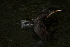 Cormorant - il nage bien et les piqués, plumage n'est pas oiseau imperméable et bel photo stock