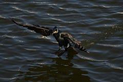 Cormorant - il nage bien et les piqués, plumage n'est pas oiseau imperméable et bel photographie stock libre de droits