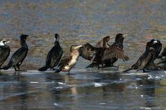 Cormorant - il nage bien et les piqués, plumage n'est pas oiseau imperméable et bel photographie stock