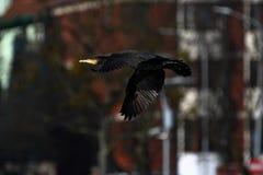 Cormorant - il nage bien et les piqués, plumage n'est pas oiseau imperméable et bel image stock
