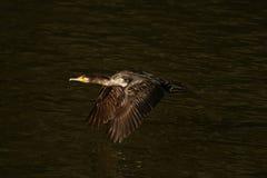 Cormorant - il nage bien et les piqués, plumage n'est pas oiseau imperméable et bel images stock
