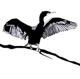 Cormorant. Illustration of Hop off Cormorant Over White Background Stock Photos