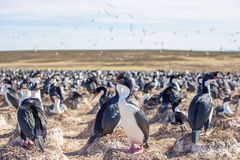 Cormorant imperiale o il blu ha osservato la colonia del cormorano, Falkland Islan Immagine Stock