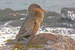 Cormorant incapable de voler et son bébé sur son nid Image libre de droits