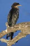 Cormorant incoronato Fotografia Stock