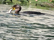 Toronto Lake cormorant with its catch 2017 royalty free stock image