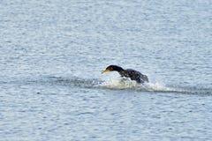 Cormorant jouant avec de l'eau 3 Photo stock