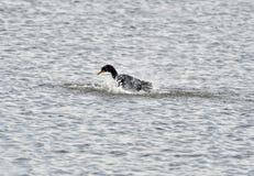 Cormorant jouant avec de l'eau Photo stock