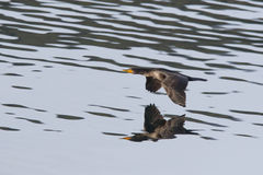 Cormorant just above water. Royalty Free Stock Photography