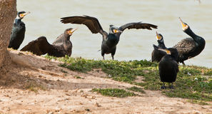 The Cormorant King. A Cormorant (Phalacrocorax carbo) seems to be admired by his fellow birds Stock Photos