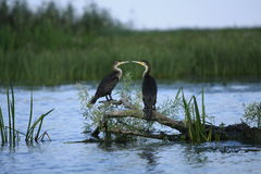 Cormorant Kiss Royalty Free Stock Photography