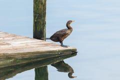 cormorant krönad double royaltyfria bilder