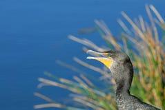 cormorant krönad double arkivbild