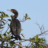 cormorant krönad double arkivfoto