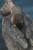 cormorant krönad double royaltyfria foton