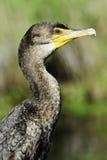 cormorant krönad double arkivfoton