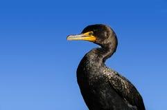 cormorant krönad double royaltyfri fotografi