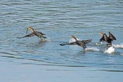 cormorant krönad double fotografering för bildbyråer