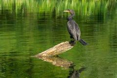 cormorant krönad double royaltyfri bild