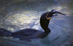 cormorant krönad dubbel matning Arkivfoto