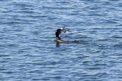 cormorant kr?nad double royaltyfria bilder