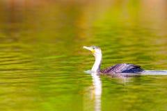cormorant kr?nad double Phalacrocoraxauritus royaltyfria bilder