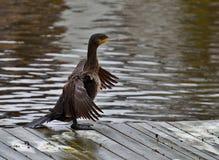cormorant kr?nad double fotografering för bildbyråer