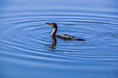 Cormorant in lake Royalty Free Stock Photo