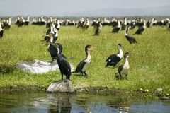 Cormorant at Lake Naivasha, Great Rift Valley, Kenya, Africa Royalty Free Stock Photo