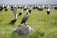 Cormorant at Lake Naivasha, Great Rift Valley, Kenya, Africa Royalty Free Stock Photography