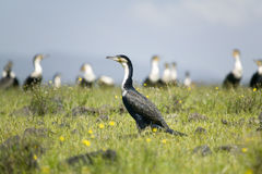 Cormorant at Lake Naivasha, Great Rift Valley, Kenya, Africa Royalty Free Stock Images