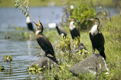 Cormorant at Lake Naivasha, Great Rift Valley, Kenya, Africa Stock Images