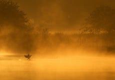 Cormorant Landing. On a foggy pond. Shot at San Jacinto Monument Park near Houston, Texas Royalty Free Stock Photography
