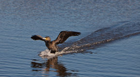 A Cormorant landing on water Royalty Free Stock Photo