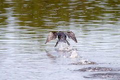 Cormorant lifting off Stock Photos