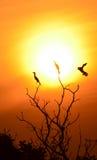 cormorant little Arkivfoton