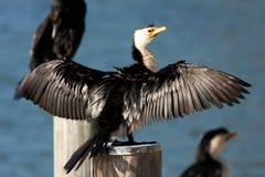 cormorant little som är pied Royaltyfri Bild
