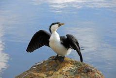 cormorant little som är pied Arkivbilder