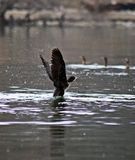 Cormorant. Little cormorant trying to fly Stock Photo