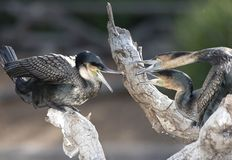 Cormorant male and females fighting guatemala Royalty Free Stock Images