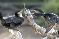 Cormorant male and females fighting  guatemala Royalty Free Stock Photography