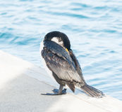 Cormorant on the marina. Photo took in New Zealand, photo is usable on picture post card, calendar, gardening, magazine Royalty Free Stock Photo